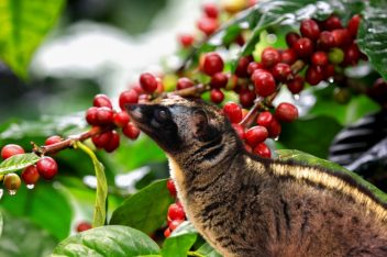 civet-coffee-2-1024x683